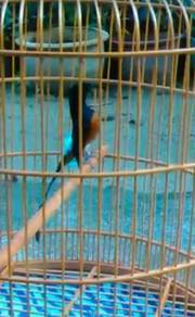Denak burung murai cherang
