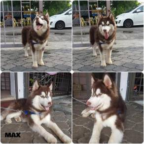 Pair of siberian husky for sale