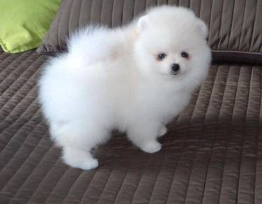 Nice quality Pomeranian puppies