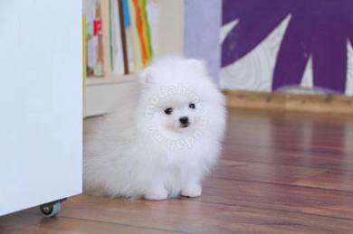 Cute and Train Pomeranian puppies