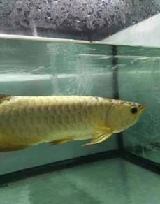 Arowana golden base 16 inch (wholesale price)
