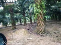 Kelatan Renok Gua Musang FREEHOLD 3246ACRES Palm Oil Land for SALE