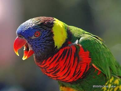 Rainbow burung parrot