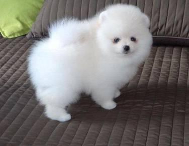 Nice quality Pomeranian teacup puppies
