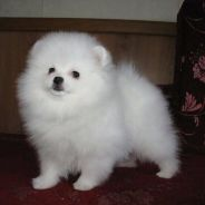 Quality Pomeranian puppies