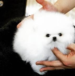 Quality Pomeranian teacup puppies