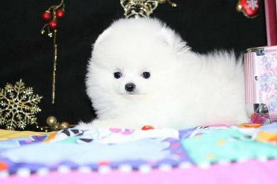 Nice quality Pomeranian teacup puppies