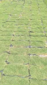 Rumput japanese n philipine cow grass