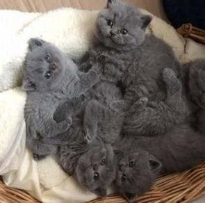 British Short hair Kitten. Gccf Registers