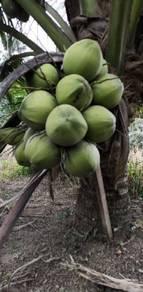 Benih kelapa sungai gulang HIJAU