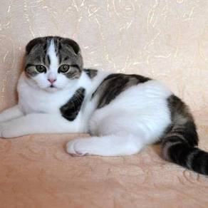 Scottish Fold Pure Breeds imported Kittens