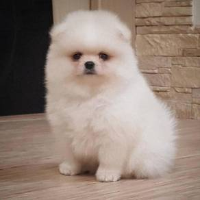 White Pomeranian pom
