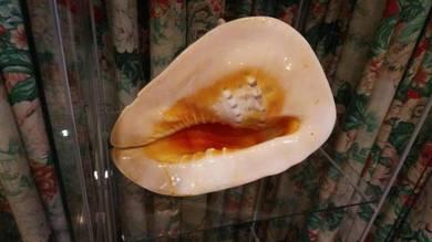 Giant Size Sea Shell - Cengkerang Gergasi