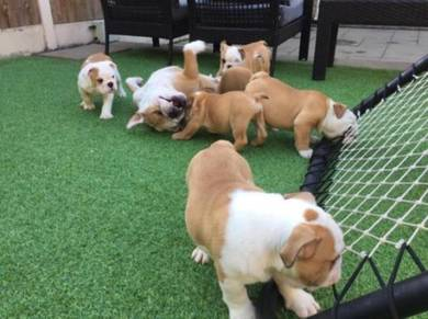 Nice quality English bulldogs puppies
