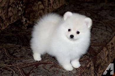 Quality Pomeranian teacup puppies