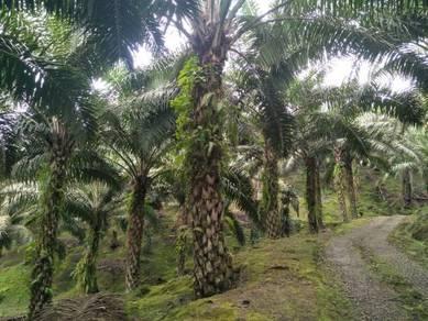 Oil Palm Land for sale at Tiku road side,Tawau