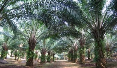 1000Ekar Kebun Sawit dan Tanah Freehold Kelantan