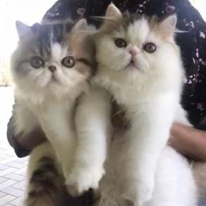 Persians & Exotic Available As PET