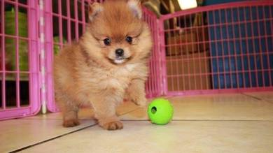 Pom Active; Pomeranians are playful