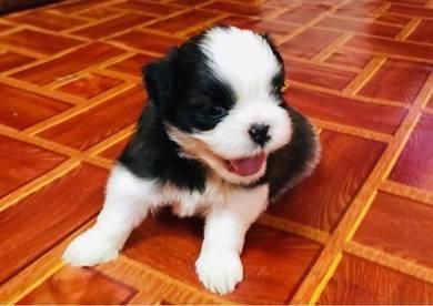 Pure shih tzu puppy