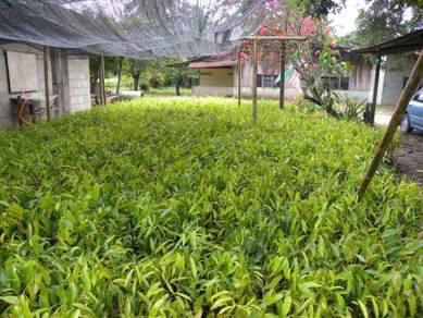 Anak pokok Gaharu Gread kualiti