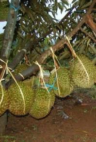 Membekal Anak pokok durian Monthong