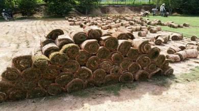 Supply cow grass & carpet grass KL2301