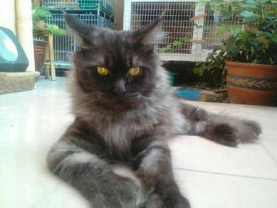 Mating n mengawan American Mainecoon cat