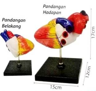 Model Of Human Heart (S)
