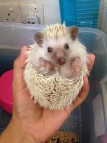 Hedgehog Male 4 Bulan Set Lengkap