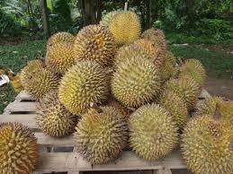 Durian dari Dusun Lubuk Prong Kuala Nerang