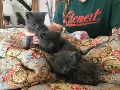 Pedigree British Blue Short hair Kittens