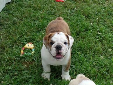Englisj bulldog pups