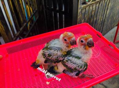 Burung Baby Pair SunConure Parrot Bird