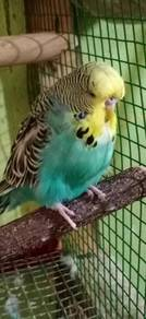 Burung english Budgie baji A matang