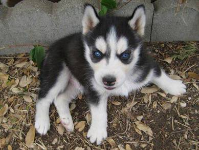 Lovey Siberian husky puppies