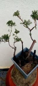 Pohon Cucur Atap - Bonsai Style