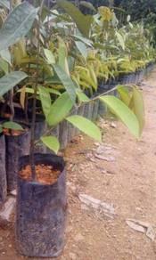 Anak pokok durian duri hitam(D200)