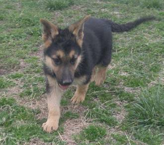 German shepherd Puppies For Sale both male and fem