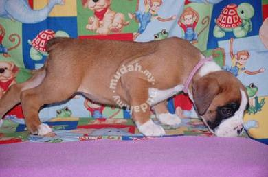 Mka Reg,potty trained Boxer Puppies