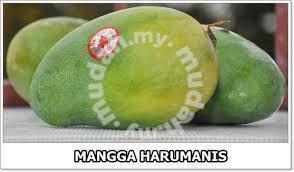 Benih Mangga Harum Manis >Cita Tani Nursery
