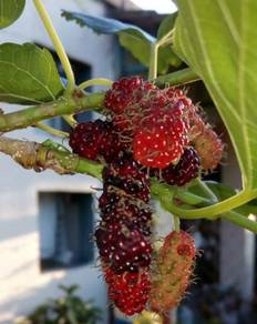 Mulberry plant for sale