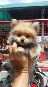 Microchip Teacup Pomeranian puppies