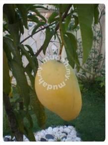 Benih Mangga Chokanan >Cita Tani Nursery