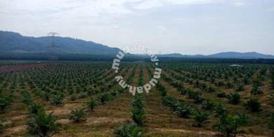 Sungai Petani Sungkap Para Palm Tree Plantation 400+ Acres