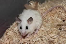 Rat breeder's african soft fur asf
