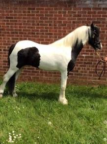 Hors 2 Year Old Cremello Filly (Joe)