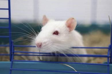 Rat breeder tikus