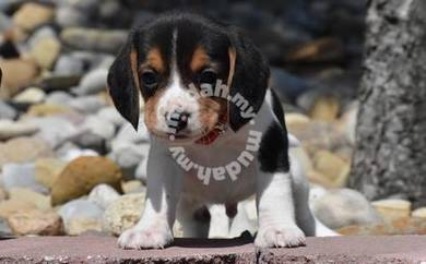Fully vaccinated and Pure breed Beagle Puppies