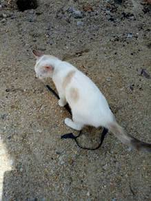 Anak kucing kampung betina
